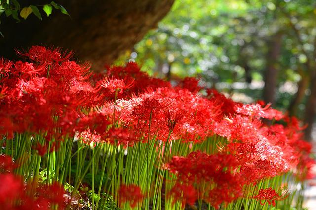 Red Spider Lily, Korea, Incheon, Ganghwado
