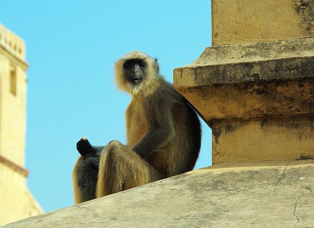 India, Monkey, Primate, Animal, Wild, Mammal