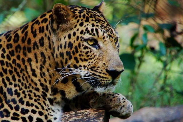 Wild, Animal, Leopard, Predator, View, Jungle, India