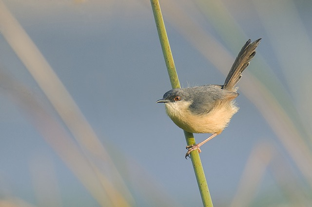 Bird, Ashy, Prinia, Wild, Mysore, India, Perched, Good