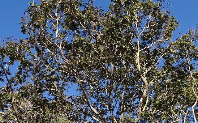 Peltophorum Pterocarpum, Copperpod Tree, Dharwad, India