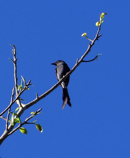 Ashy Drongo, Dharwad, India, Bird, Fly, Wings, Feather
