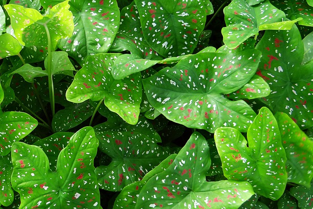 Caladium, Plant, Leaves, Florida Beauty, Goa, India