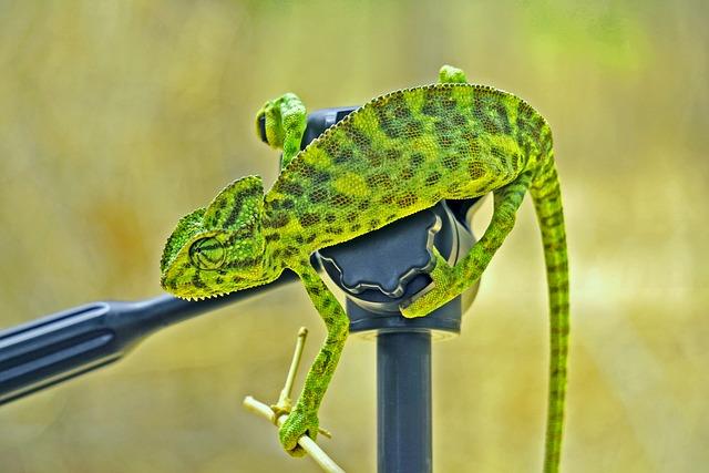 Chameleon, Green, India, Bharat, Banswara