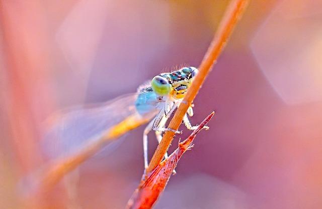 Dragonfly, Damselfy, India, Kerala