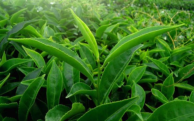 Leaf, Green, Nature, Tea, Kerala, India, Green Leaf