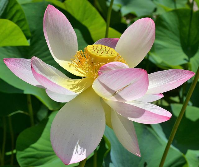 Indian Lotus Flower, Nelumbo Nucifera, Lotus