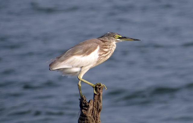 Indian Pond Heron, Paddybird, Ardeola Grayii, Bird
