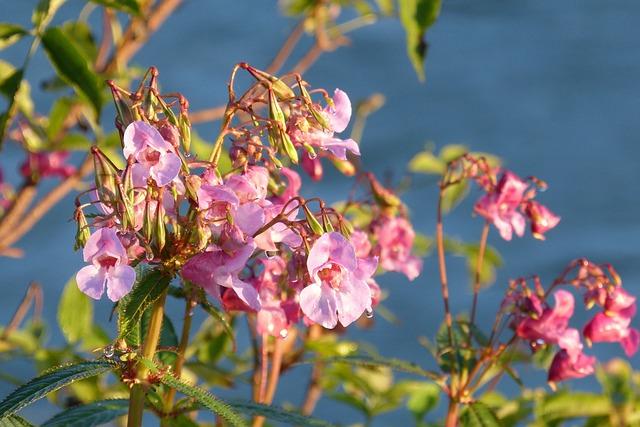 Balsam, Indian Springkraut, Flower, Plant, Seeds