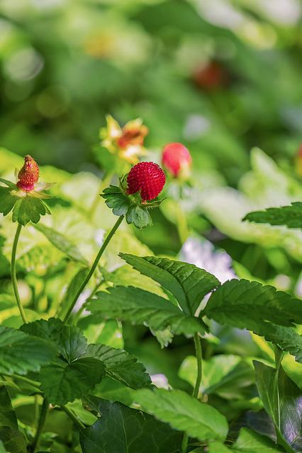 Indian Translucent Strawberry, Strawberry