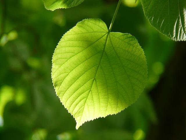 Leaf, Individually, Linde, Lipovina, Foliage, Leaves