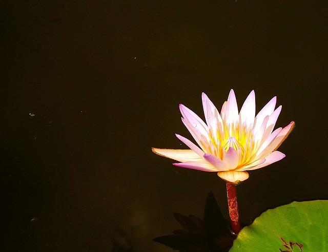 Lotus, West Java, Indonesian