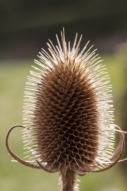 Wild Teasel, Dipsacus Fullonum, Dry, Inflorescence