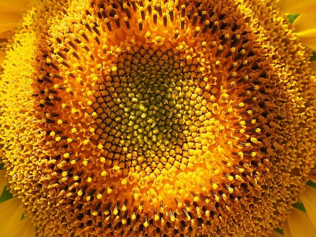 Inflorescence, Sun Flower, Flower Basket, Tongue Flower