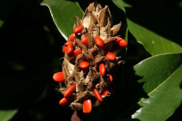 Magnolia, Infructescence, Orange, Evergreen Magnolia