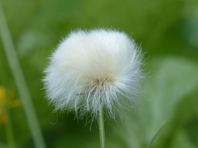 Infructescence, Scheuchzers Cottongrass