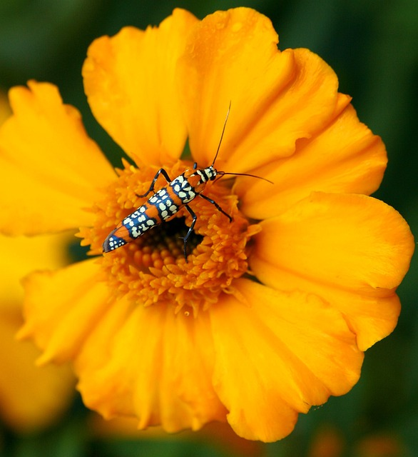 Ailanthus Webworm Moth, Atteva Aurea, Moth, Insect, Bug