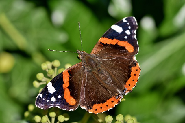 Nature, Insect, Butterfly, Red Admiral, Animal