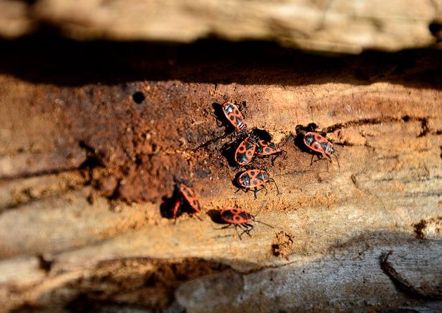 Beetle, Fire Bug, Nasty Fire Bug, Insect, Pest, Animal
