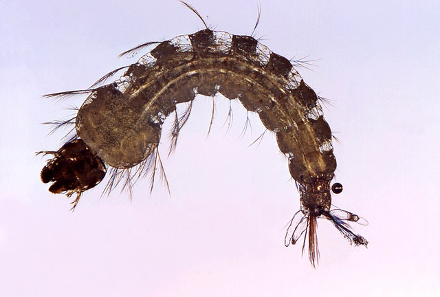 Female Mosquito, Anopheles, Insect