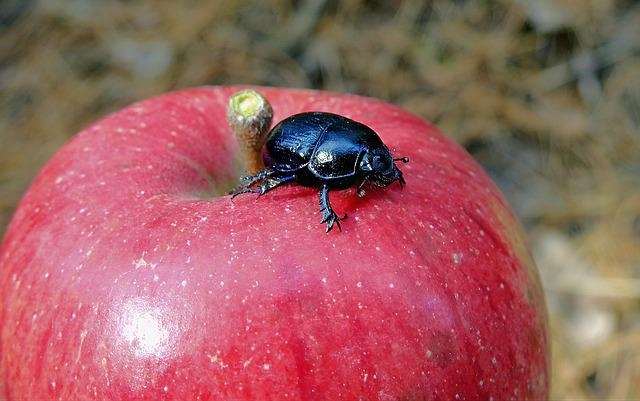 Insect, Beetle Gnojowy, Apple