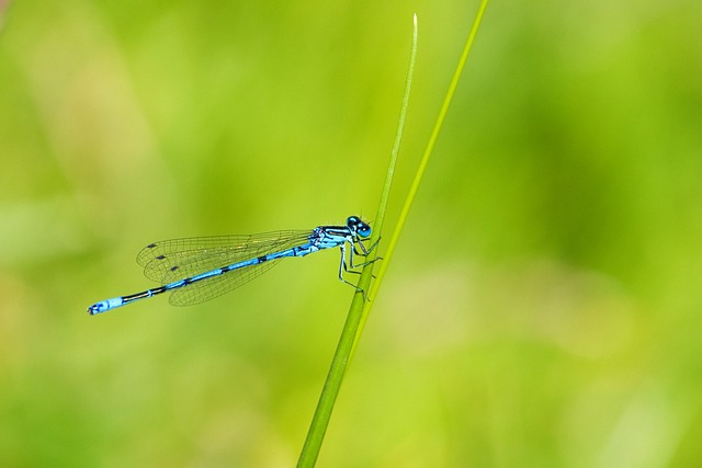 Azure Damselfly, Dragonfly, Damselfly, Insect, Blue