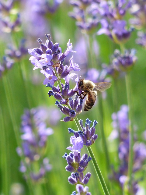 Lavender, Lavender Flowers, Bee, Pollination, Insect