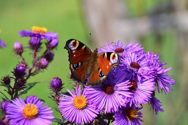 Aster, Butterfly, Blossom, Bloom, Insect, Purple