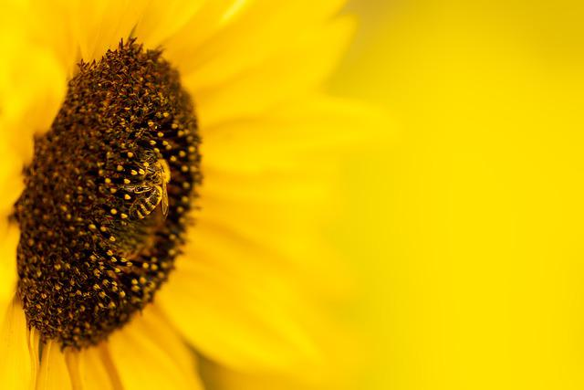 Sunflower, Flower, Bee, Insect, Blossom, Bloom