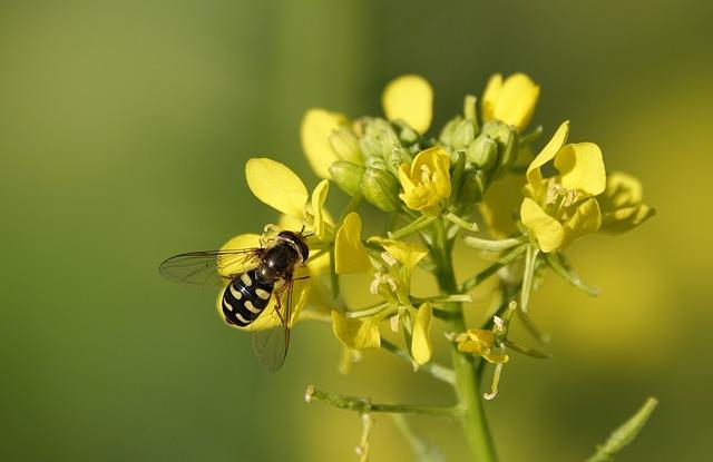 Yellow Mustard, Mustard, Insect, Blossom, Bloom, Yellow