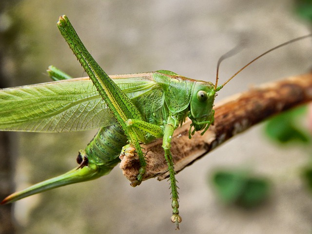 Grasshopper, Insect, Antennae, Wood, Brown, Nature
