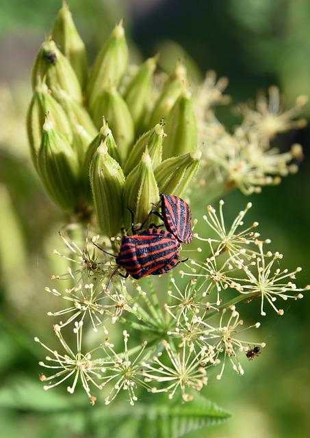 Bug Harlequin, Graphosoma Italicum, Insect, Coupling