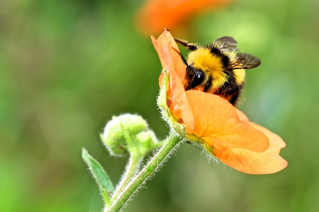 Bumble Bee, Bumblebee, Insect, Flower, Bumble, Bee