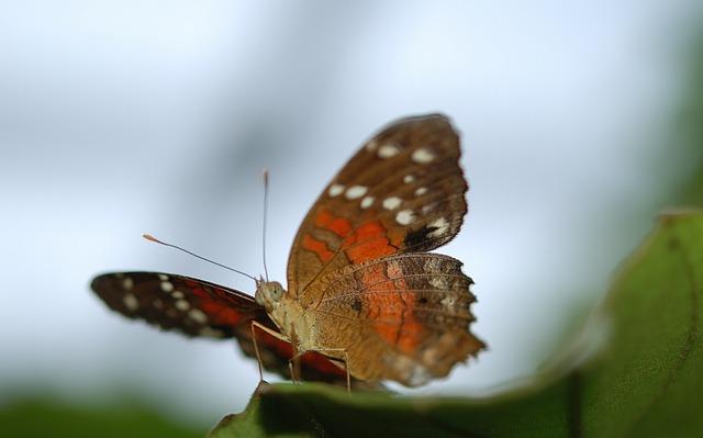 Danaus, Plexippus, Butterfly, Butterflies, Insect