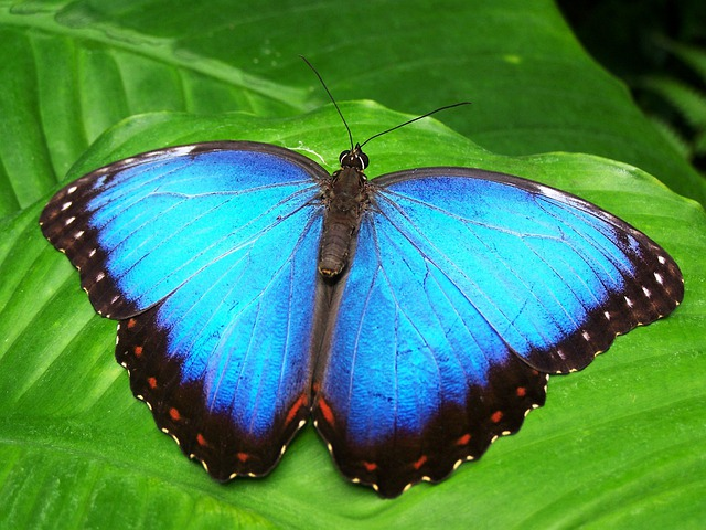 Butterfly, Blue, Insect, Blue Morphofalter
