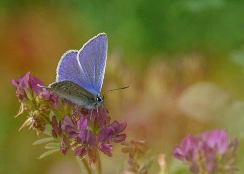 Common Blue, Butterfly, Butterflies, Insect, Nature