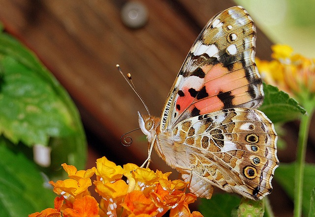 Vanessa Cardui, Butterfly, Insect, Flower, Colorful