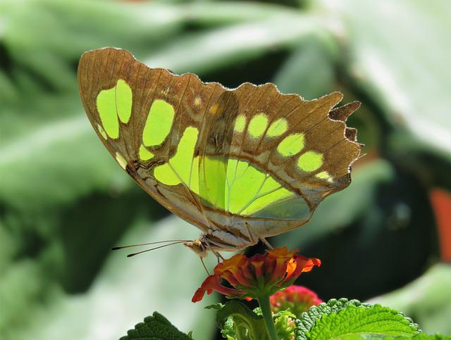 Nature, Butterfly, Insect, Flora, Leaf