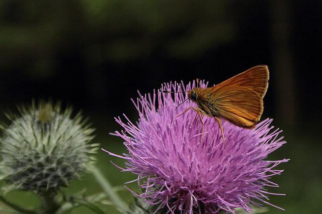 Giant Trevally, Butterfly, Insect, Thistle, Flower