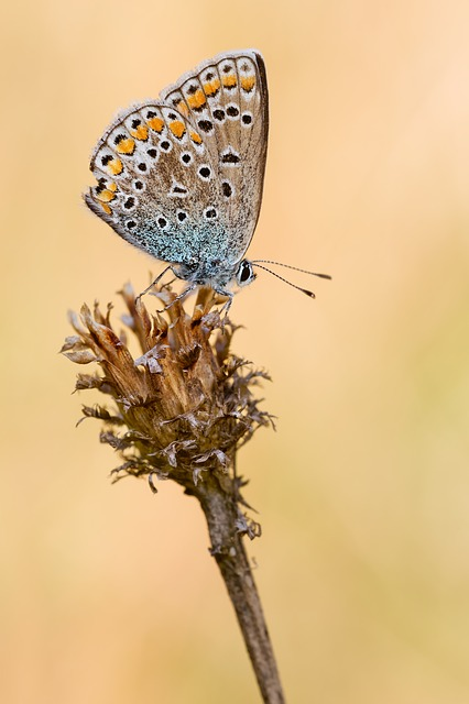 Common Blue, Butterfly, Insect, Macro, Close, Nature