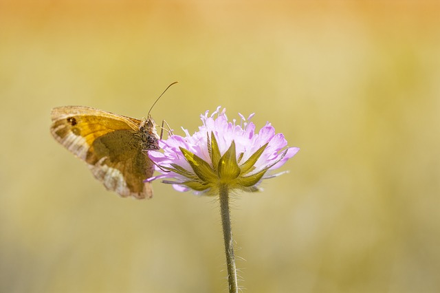 Butterfly, Meadow Brown, Insect, Nature, Animal