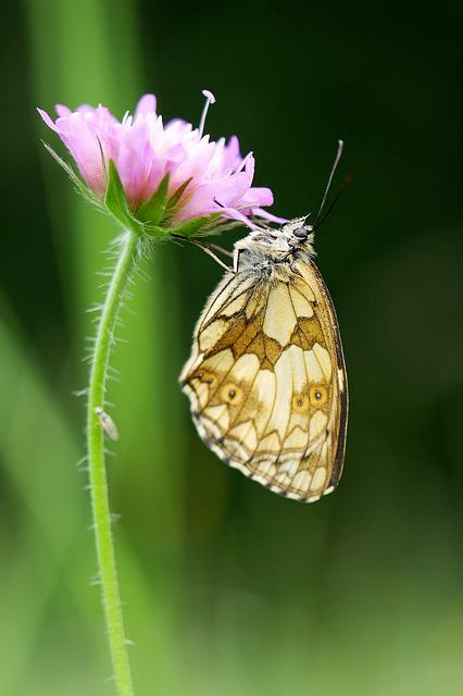 Nature, Butterfly, Insect, Flower, Plant, Chess Board