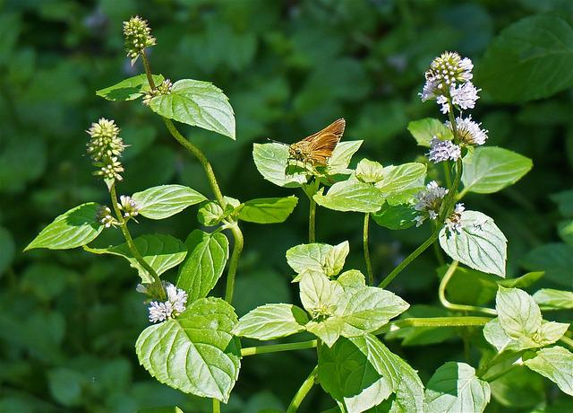 Dun Skipper, Skipper, Butterfly, Insect, Plant, Mint