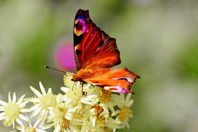 Nature, Insect, Butterfly, Flower, Summer