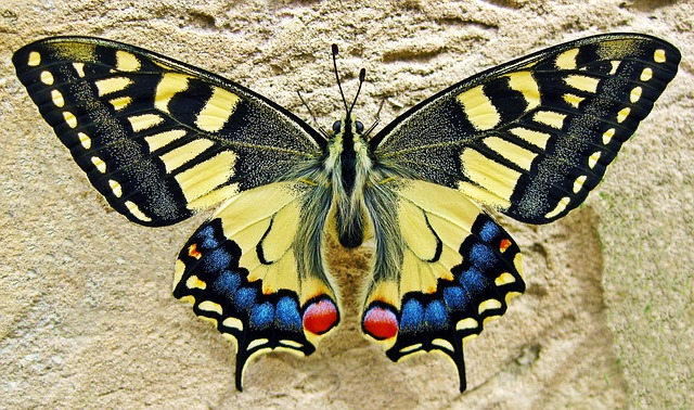 Butterfly, Swallow Tailed Butterfly, Insect, Nature