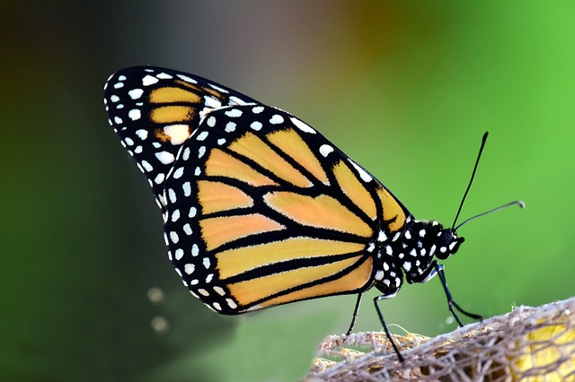 Monarch, Danaus Plexipplus, Butterfly, Insect, Wing