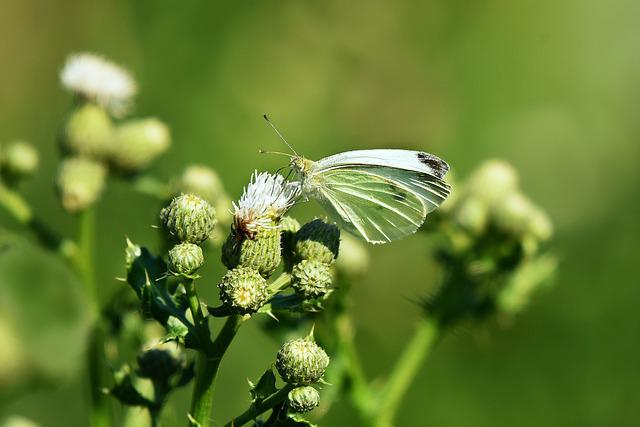 Cabbage White, Butterfly, Insect, Animal, Wings