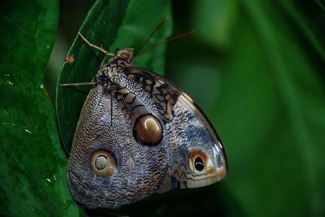 Caligo Atreus Dionysos, Blue, Butterfly, Bug, Insect