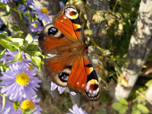 Peacock Butterfly, Butterfly, Insect, Close Up