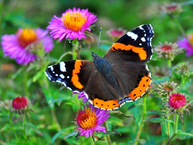 Butterfly, Colorful, Meadow, Insect, Admiral